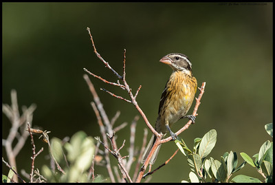 A juvenile Black Headed Grosbeak really starting to get some color.
