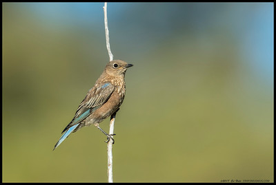 One of the juvenile Western Bluebirds taking a break from foraging for bugs.