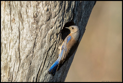 Female Western Bluebird inspecting the nest cavity to see just what items are needed to finish up the nest.