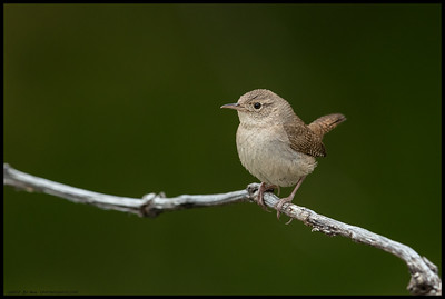 There were two House Wrens foraging constantly along some deadfall.  Each would occasionally hop up to a high point and issue a series of calls before hopping back down.