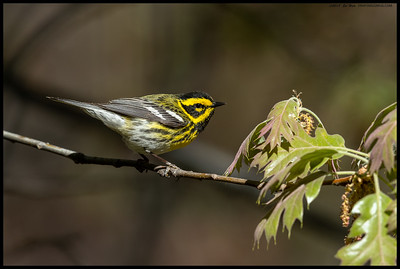Townsend's Warbler looking for the next bug on the menu.