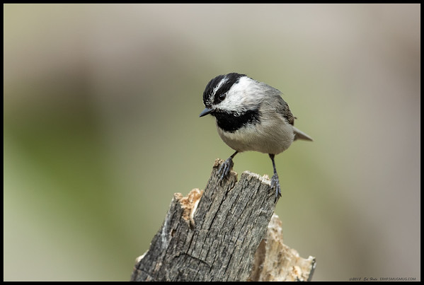 A curious Mountain Chickadee came in to see what was going on.  I often wonder how they interpret the shutter clicks.