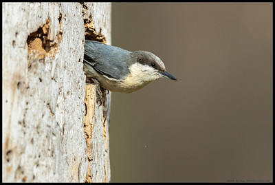 A Pygmy Nuthatch climbing out from the nesting cavity under construction.