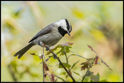 A Mountain Chickadee ponders which bug will be the next morsel on the menu