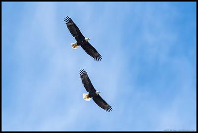 A pair of Bald Eagles ringing together over Lake Cuyamaca