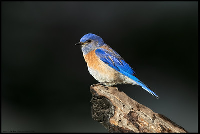 A male Western Bluebird perched briefly in the search for insects to bring back to the missus.