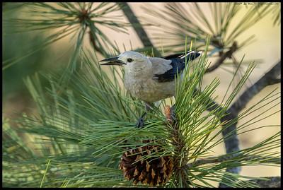 One of the six Clark's Nutcrackers foraging among the remaining pine cones from the previous 'crop'.
