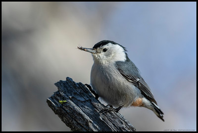 A White Breasted Nuthatch landed in front of me with some bugs.