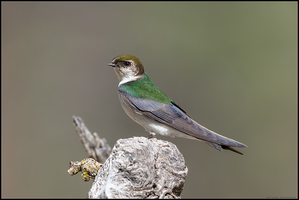 Based on the interactions with the male swallow, I'm guessing this is a female Violet-green Swallow.