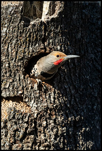 A male Northern Flicker looking out from the nesting cavity.  He constructed(or destructed) most of the cavity, calling the female over to inspect the progress over the course of a week.  Humorously, the hole was started by a Hairy Woodpecker who this year decided to make another one about five feet away on a different side of the same tree.