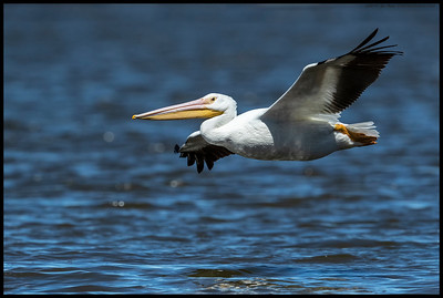 One of the White Pelican swinging by on quick ring of the lake.  Outside my usual time to shoot but spent a bit more time with the Clark's Nutcrackers and Violet Green Swallow in the early morning that I had expected.