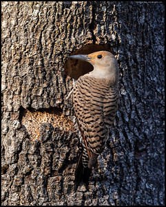 A female Northern Flicker giving a last look around before entering the nesting cavity.