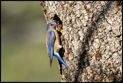 A curious Western Bluebird investigating a nearby tree cavity.