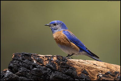A male Western Bluebird looking out as his mate was eating ants off the tree.  They seemed rather interested in the possible nesting cavities so will have to check back and see if they are using it.