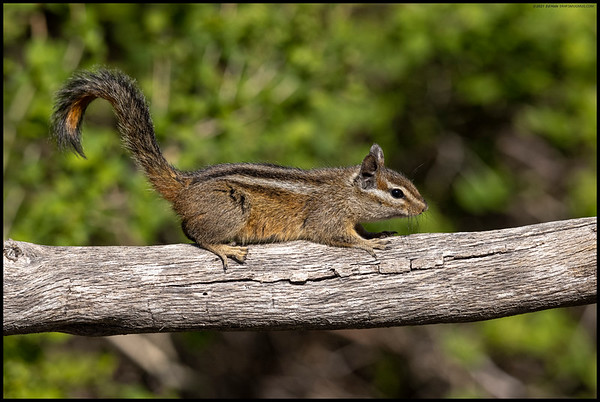 One of the Merriam's Chipmunks paused on a small log for a moment.