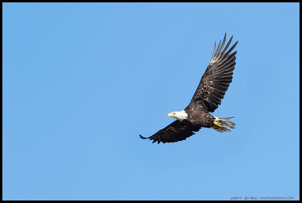 One of Bald Eagles ringing over Lake Cuyamaca.