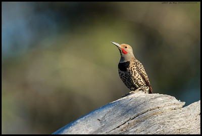 A male Northern Flicker paused in its search for a morning snack to look around.