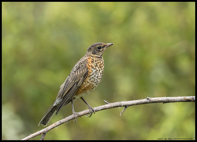 One of the pair of recently fledged American Robins.