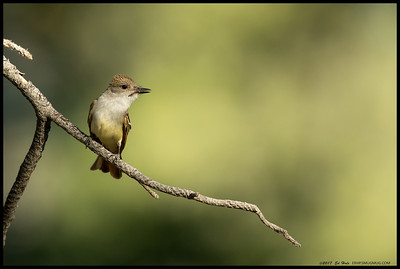 Caught this Ash Throated Flycatcher perched in some nice late afternoon lighting.