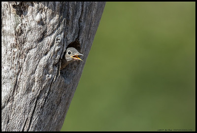 One of the nestling Western Bluebirds contemplates the big wide world and where Mom and Dad are with the next meal.