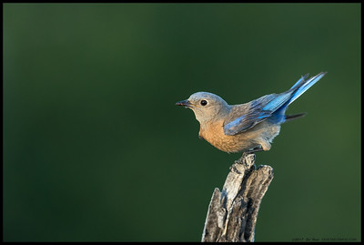 Mama Bluebird spooling up for the short hop to the nest with a last snack for the little ones before the sun dropped behind the mountains.