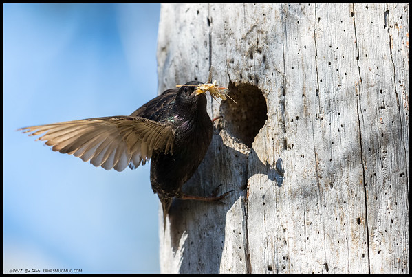 One of the European Starling adults bringing in a healthy dinner of grasshopper to the little ones.