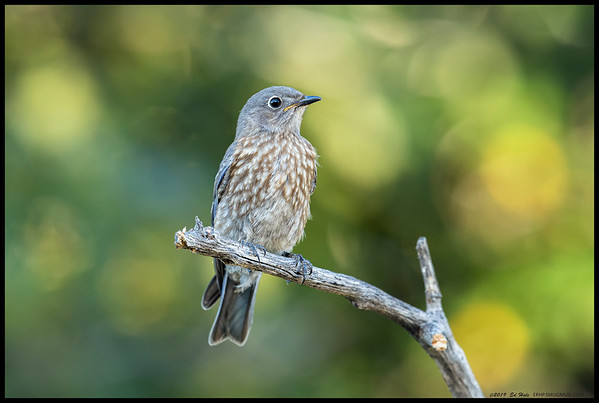 With sun rapidly disappearing behind the trees, I still had subjects such as this juvenile Western Bluebird waiting to have their picture taken.