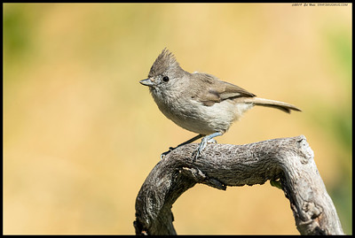 An Oak Titmouse checking the area out before dropping down into one of the remaining pools of water.