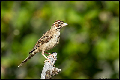A Lark Sparrow, one of the few I've seen so far this year, took a moment to pose for me.