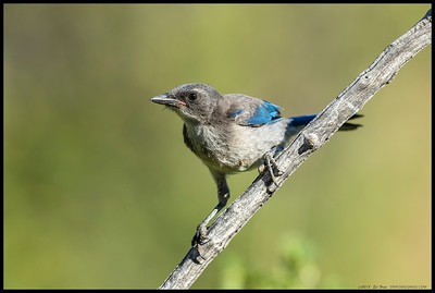 A recently fledged 'California' Scrub Jay was following the parents around begging for food.