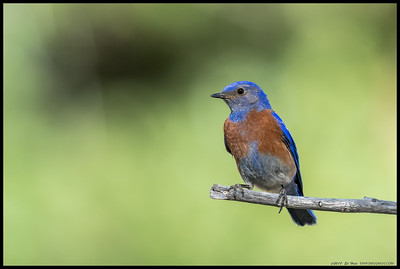 The sun was just peeking through the trees behind me as this Western Bluebird decided to land in a nearly perfect spot.