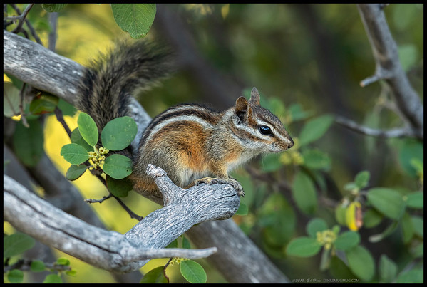 Another shot of the Merriam's Chipmunk.  This is one of three individuals that chose to use this bush as a 'gateway' to the other side