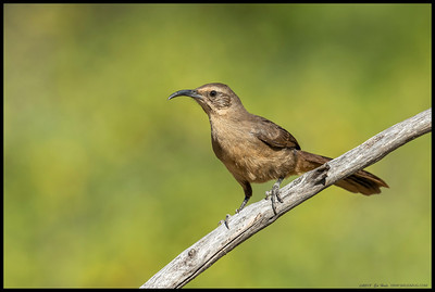 Almost thinking is a juvenile California Thrasher judging the base of the beak.