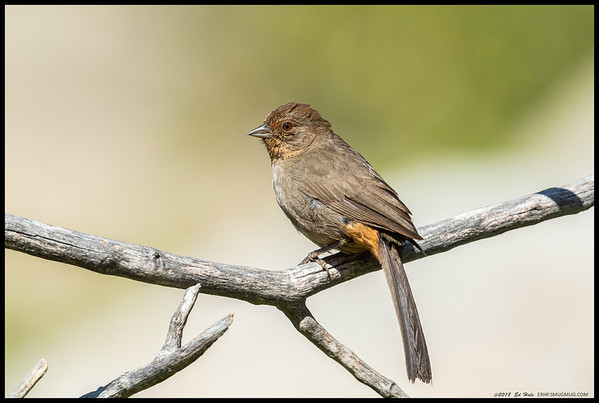 One of the California Towhee's waiting on the others to finish drinking from a small spring.