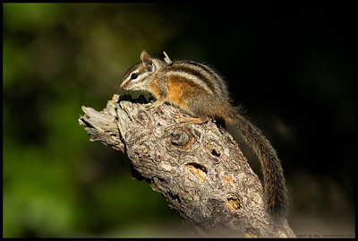 One of the Merriam's Chipmunks catching some last rays before the temperatures drop for the night.