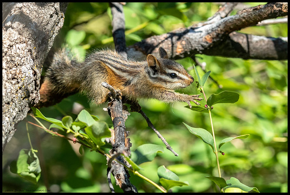 A very young Merriam's Chipmunk reaching out for a snack.