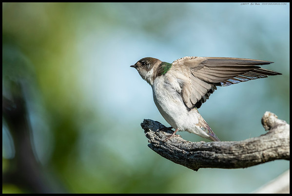 A female Violet Green Swallow getting a good stretch in before taking off in search of a snack.
