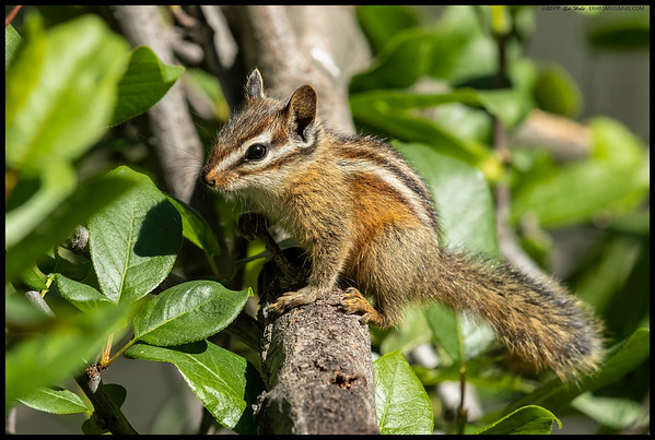 A Merriam's Chipmunk paused and then posed for the camera.