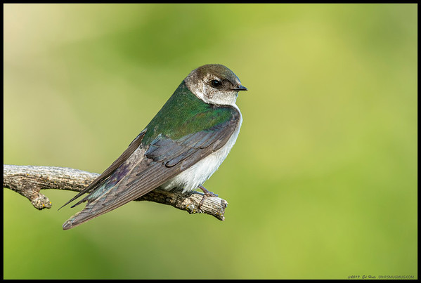 A female Violet Green Swallow taking a break between playing Mom and feasting on the flying bugs.