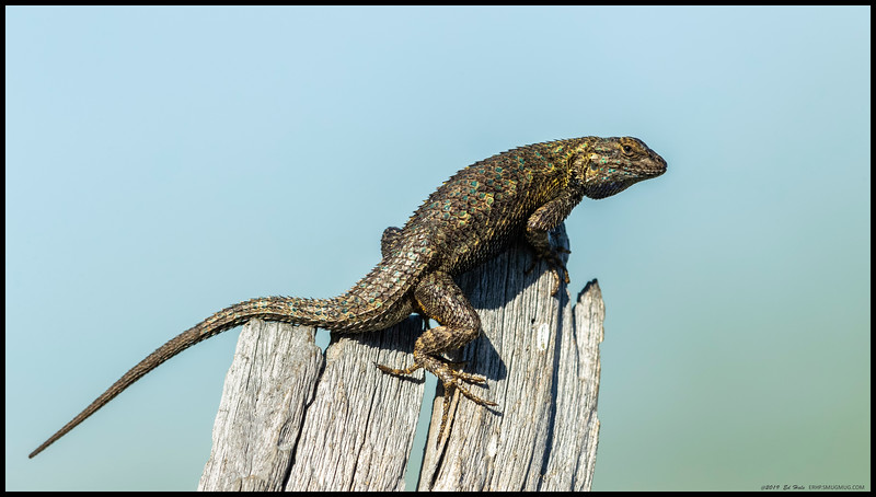 A Western Fence Lizard sunning and showing off atop a dead snag
