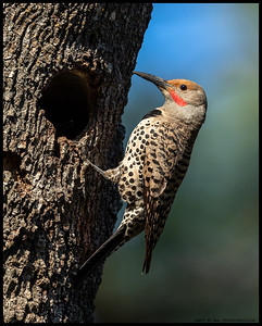 Papa Northern Flicker sitting just outside the nesting cavity.  You can just see the very tip of one of the nestlings beak inside the hole.