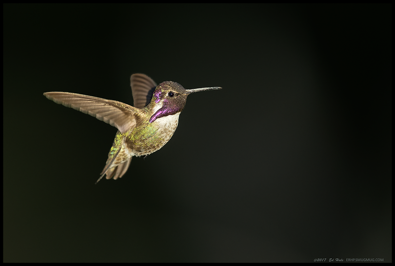 Costa's Hummingbird in flight.  The sun was about to set behind the mountains and the bigger trees were casting long shadows.  When this hummingbird popped up for a hover over his territory, I was able to get a number of shots of him illuminated against the dark background.