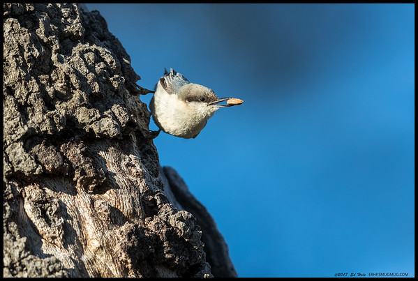 One of the nesting White Breasted Nuthatches had found a nut and was trying to locate a good spot to stash it.