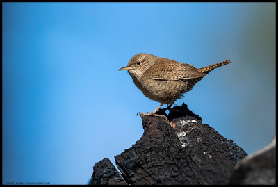 One of a pair of House Wrens during some nest building.