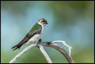 A Violet-Green Swallow observing an Oak Titmouse nesting cavity.