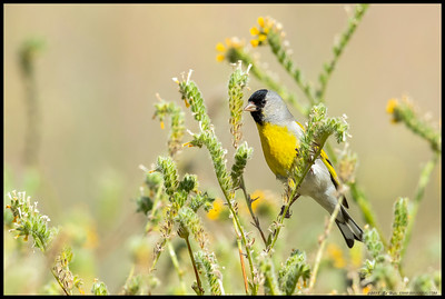 A male Lawrence's Goldfinch showing off its camouflage skills in the fiddleneck.  Part of a flock numbering 20-30 individuals, these small birds are usually only found in CA and Baja.