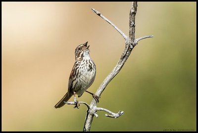 A Song Sparrow decided to stop by and grace me with a little song.