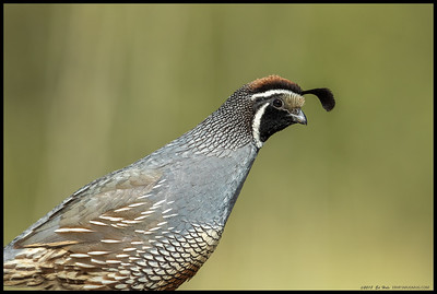 One of the California Quail walking by where I was sitting.