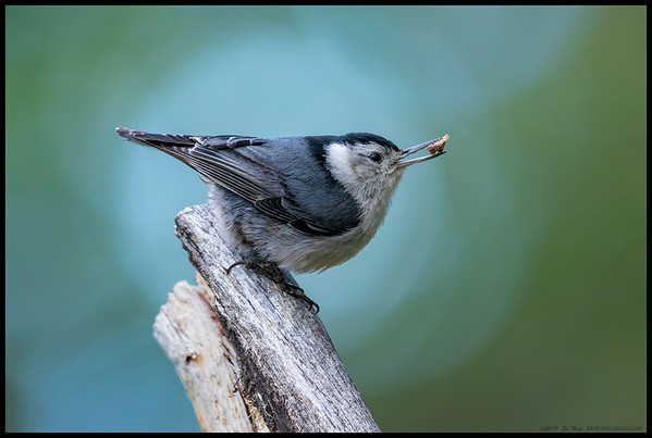 It was around 40F, the last of the storm was blowing out  and one hour before sunset.  This little White Breasted Nuthatch landed on the remains of a limb and posed for a moment before heading off to a nearby nest to feed the little ones.