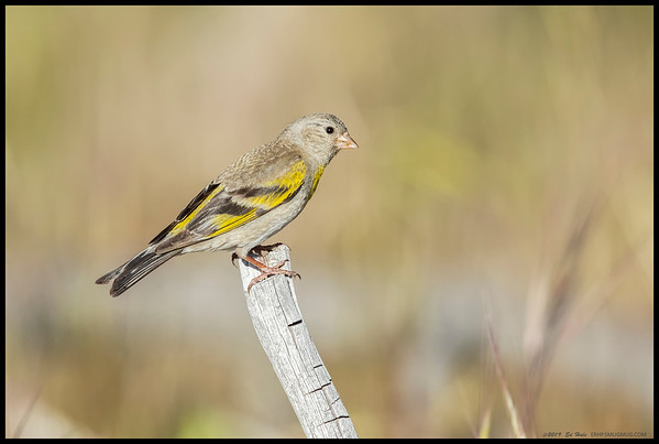 A female Lawrence's Goldfinch taking a brief break from raiding the flowers.